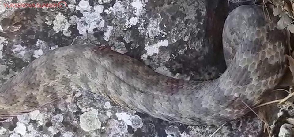 Siirt'te görülen dev yılan paniğe neden oldu