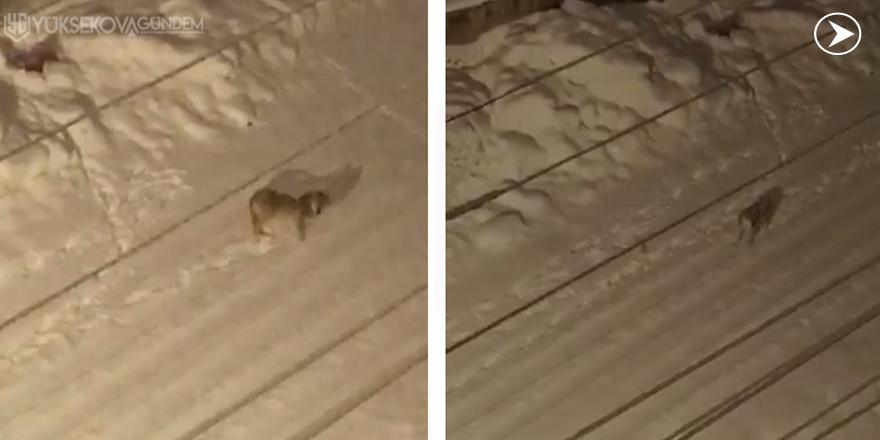 Yüksekova'da aç kalan kurtlar mahalleye indi