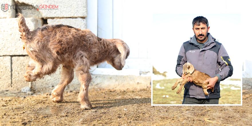 Yüksekova'da arka bacakları kısa doğan keçi şaşkınlık yarattı