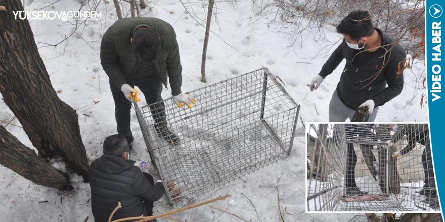 Yüksekova'da ki kurdun yakalanması için çalışmalar devam ediyor