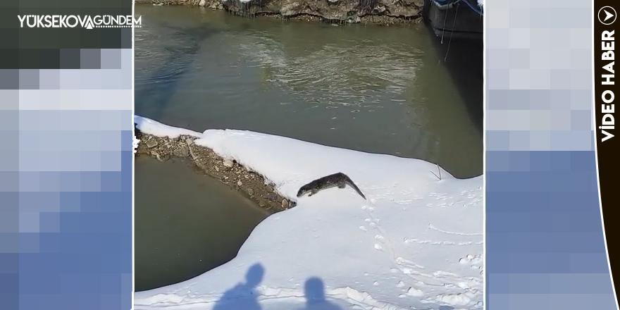 Yüksekova'da su samuru görüntülendi