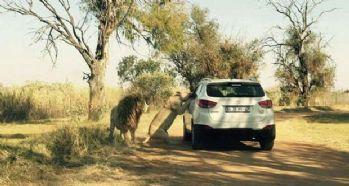 Camdan fotoğraf çeken kadını aslan öldürdü