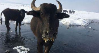 Aşırı soğuklar hayvanları da etkiliyor