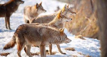 Aç kalan kurtlar köydeki köpekleri yedi