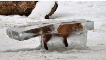 Nehre Düşen Tilki Donmuş Halde Bulundu