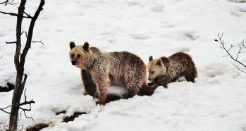 Kış uykusu yerine gezmeyi tercih ettiler