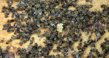 Yüzlerce arı telef oldu