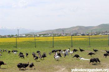 Yüksekova'da hindi ve tavuk çiftliği kuruldu
