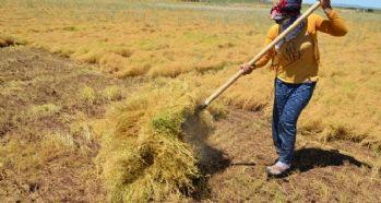 İşçilerin 40 derecede mercimek hasadı