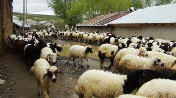 Sel felaketinde 26 kuzu telef oldu