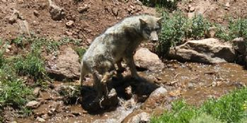 Tedavisi tamamlanan kurt doğaya bırakıldı