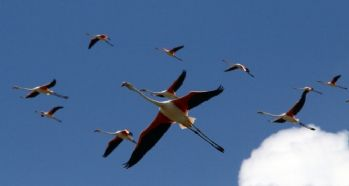 Flamingoların yeni adresi Tuz Gölü