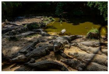 Beş kişiyi yiyen timsaha ömür boyu hapis cezası