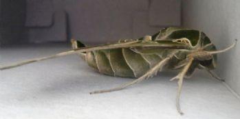 Van'da ender görülen 'Mekik Kelebeği' bulundu