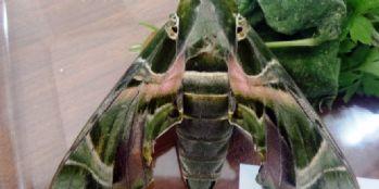 'Mekik kelebeği' Van'da ilk kez kayıt altına alındı