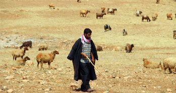 Şanlıurfa'da kurtlar koyun sürüsüne saldırdı