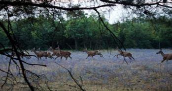 Aç kalan köpekler geyikleri yedi