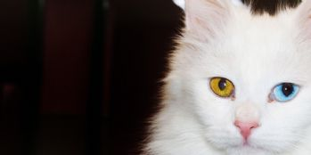 Van kedileri yılda iki kez yavrulayabiliyor