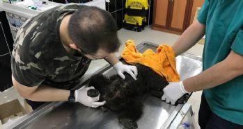 Köpeklerin saldırdığı yavru ayı tedavi altına alındı