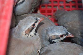 Bin 500 kınalı keklik doğaya salındı