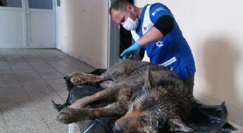 Köye inen kurtlar, köpeklere saldırdı