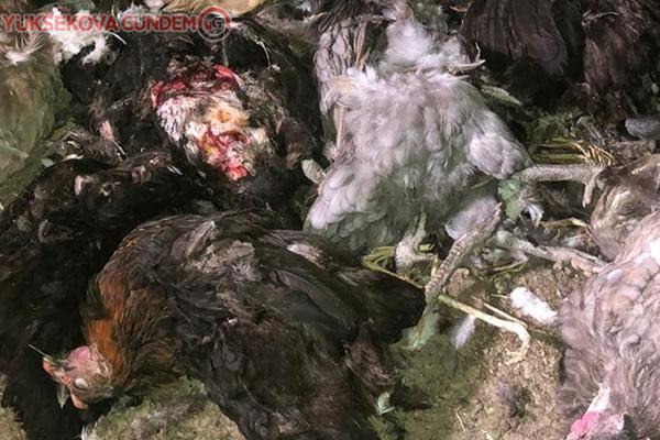 Kümese dadanan başıboş köpekler tavukları telef etti