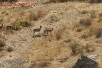 Hakkari'de yaban keçileri şehre indi