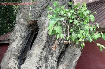 Asırlık dut ağacı zamana meydan okuyor